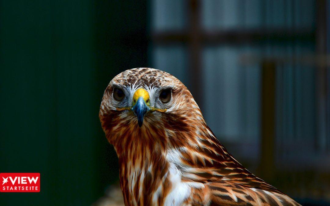Falke - Falcon